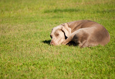 Weimaraner dog sleeping on grass Royalty Free Stock Photography