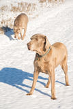 Weimaraner dog in snow, with another on the background Stock Photos