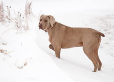Weimaraner dog in a snowdrift Royalty Free Stock Photography