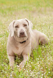 Weimaraner dog in spring wildflowers Stock Photo