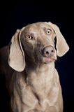 Weimaraner dog portrait Royalty Free Stock Images