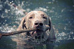 Weimaraner dog swim. On blue water lake with cane Stock Image