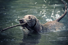 Weimaraner dog swim Stock Photography