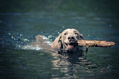 Weimaraner dog swim. On blue water lake with cane Stock Photo