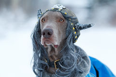 Weimaraner dog viking. Weimaraner dog in viking wig Stock Image