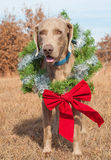 Weimaraner dog wearing a Christmas wreath Royalty Free Stock Photos