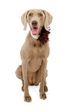 Weimaraner Dog Wearing Flower Collar Stock Image