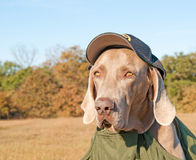 Weimaraner dog wearing a sheriff's cap Stock Images