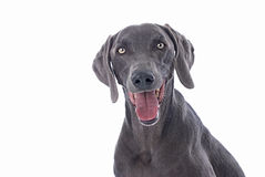 Weimaraner Dog on White Background Royalty Free Stock Photography