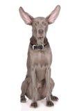 Weimaraner dog on white Stock Image