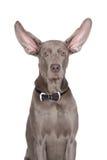 Weimaraner dog on white Royalty Free Stock Photo