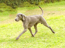 Weimaraner dog Stock Photos