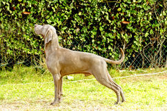 Weimaraner dog. A young, beautiful, silver blue gray Weimaraner dog standing on the lawn with no docked tail. The Grey Ghost is a hunting gun dog originaly bred Royalty Free Stock Photography