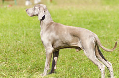 Weimaraner dog Royalty Free Stock Photo