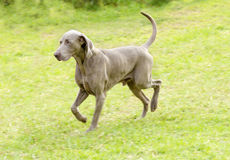 Weimaraner dog. A young, beautiful, silver blue gray Weimaraner dog walking on the lawn with no docked tail. The Grey Ghost is a hunting gun dog originaly bred Stock Images
