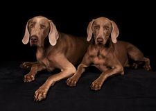 Weimaraner Dogs Royalty Free Stock Images