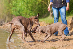 Weimaraner dogs fighting for a toy Stock Image