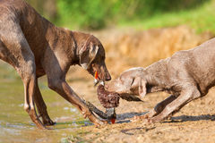 Weimaraner dogs fighting for a toy Stock Photos