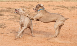 Weimaraner dogs playing hard Stock Photography