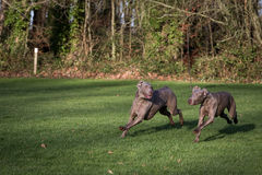 Weimaraner Dogs Playing Stock Photos
