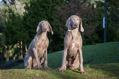 Weimaraner Dogs Playing Royalty Free Stock Photography