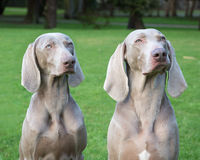 Weimaraner Dogs Playing Royalty Free Stock Images