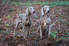 Weimaraner Dogs Playing Royalty Free Stock Photo