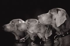 Weimaraner dogs sitting on the rock black and white photo stock image