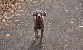 Weimaraner en parc public Photos stock