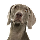 Weimaraner in front of white background Royalty Free Stock Photo