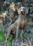 Weimaraner full body portrait, outdoor. Stock Photo