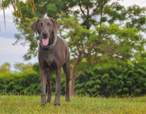 Weimaraner. Gray Nose Yellow Eyes Stock Photo