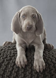 Weimaraner grey puppy on the pillow Stock Images