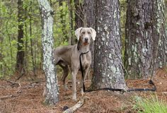 Weimaraner gun dog, pet adoption photo, Monroe Georgia USA. Unneutered male blue Weimaraner dog with hunter orange collar on leash in pine tree woods. Outdoor Stock Photo