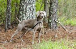 Weimaraner gun dog, pet adoption photo, Monroe Georgia USA. Unneutered male blue Weimaraner dog with hunter orange collar on leash in pine tree woods. Outdoor stock images