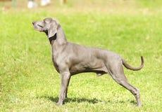 Weimaraner hund Royaltyfria Foton
