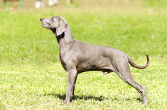 Weimaraner hund Arkivfoto