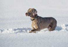 Weimaraner-Hund Lizenzfreie Stockfotografie