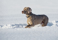 Weimaraner hund Royaltyfri Fotografi
