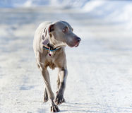 Weimaraner hund Arkivfoton