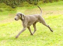 Weimaraner-Hund Stockfotos