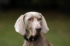 Weimaraner Hund Stockfoto