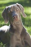 Weimaraner Hund, der auf Gras im Sonnenschein legt Stockfotos