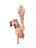 Weimaraner-Hund, der hohen fünf tut Lizenzfreie Stockfotos