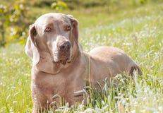 Weimaraner-Hund, der im Gras stillsteht Stockfotos
