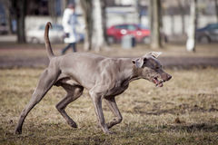 Weimaraner-Hund draußen Lizenzfreie Stockfotos