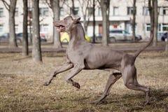 Weimaraner-Hund draußen Lizenzfreie Stockbilder