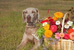 Weimaraner Hund mit einem Korb voll von den Blumen Stockfotos