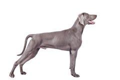Weimaraner hund som isoleras på vit Arkivbild