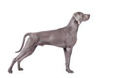 Weimaraner hund som isoleras på vit Arkivbilder